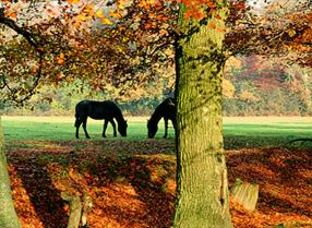 Ponies grazing grassland within autumn woodland in the New Forest