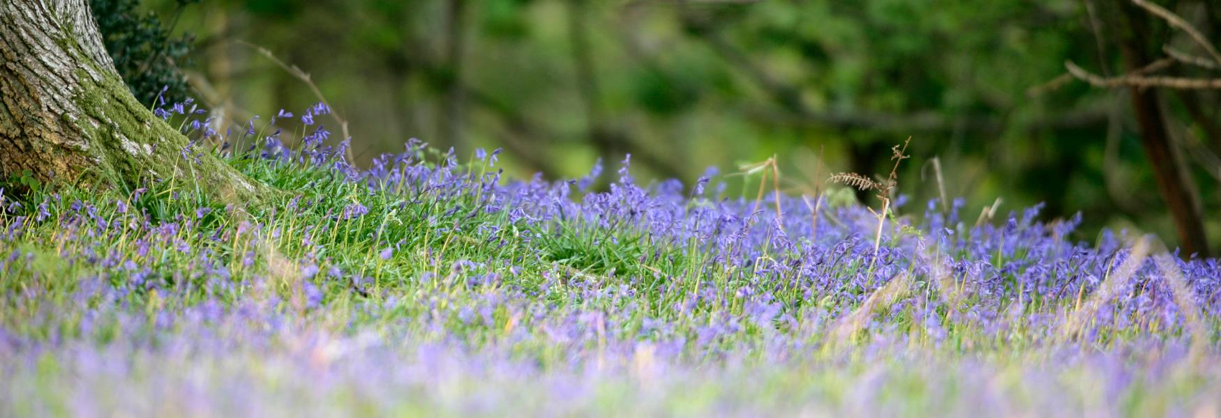 bluebells filling the forest floor in the new forest