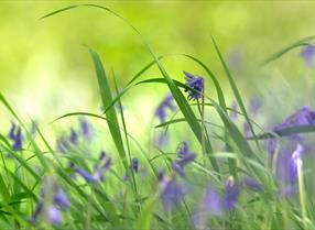 Zoomed in bluebells in the New Forest