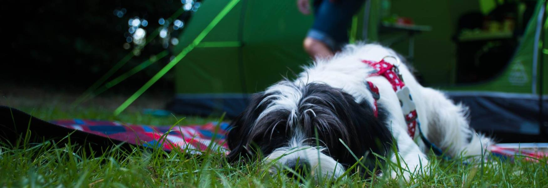 Dog laying down outside tent pitched up in the New Forest
