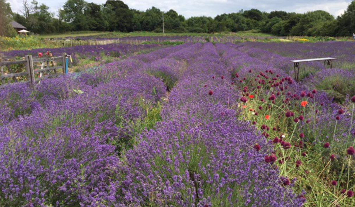 New Forest Lavender Farm - Visit The New Forest