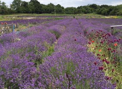 lavender field at new forest lavender farm
