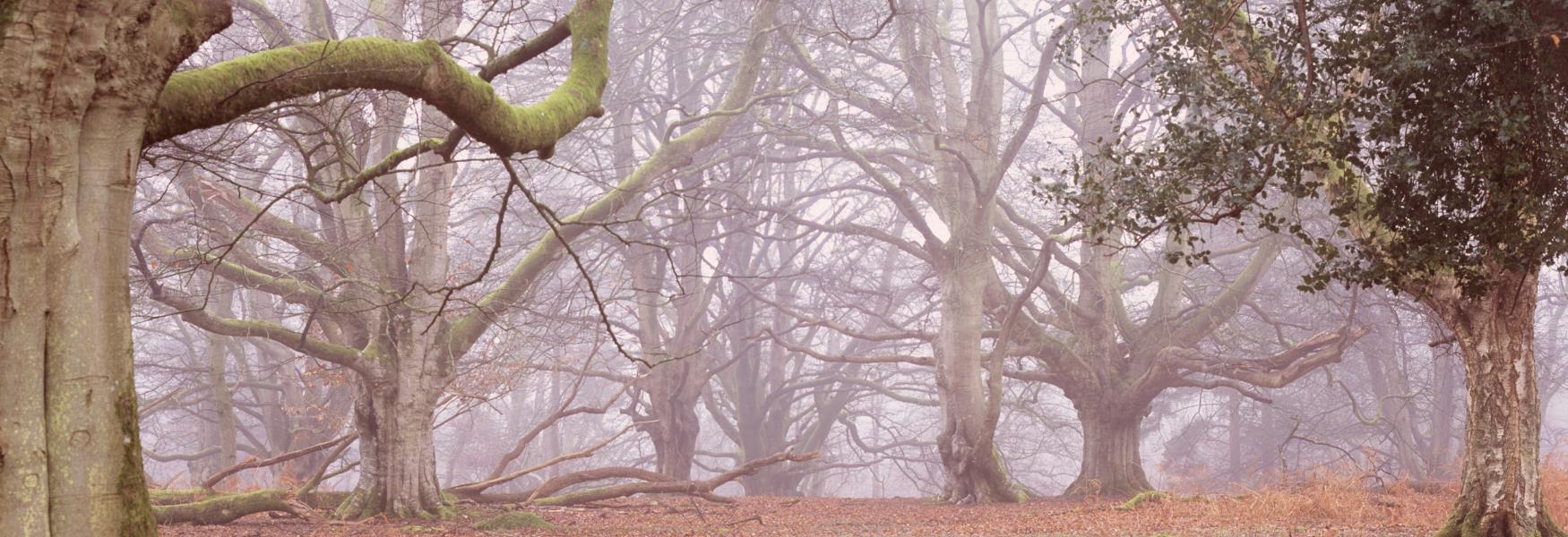foggy autumn trees in the new forest