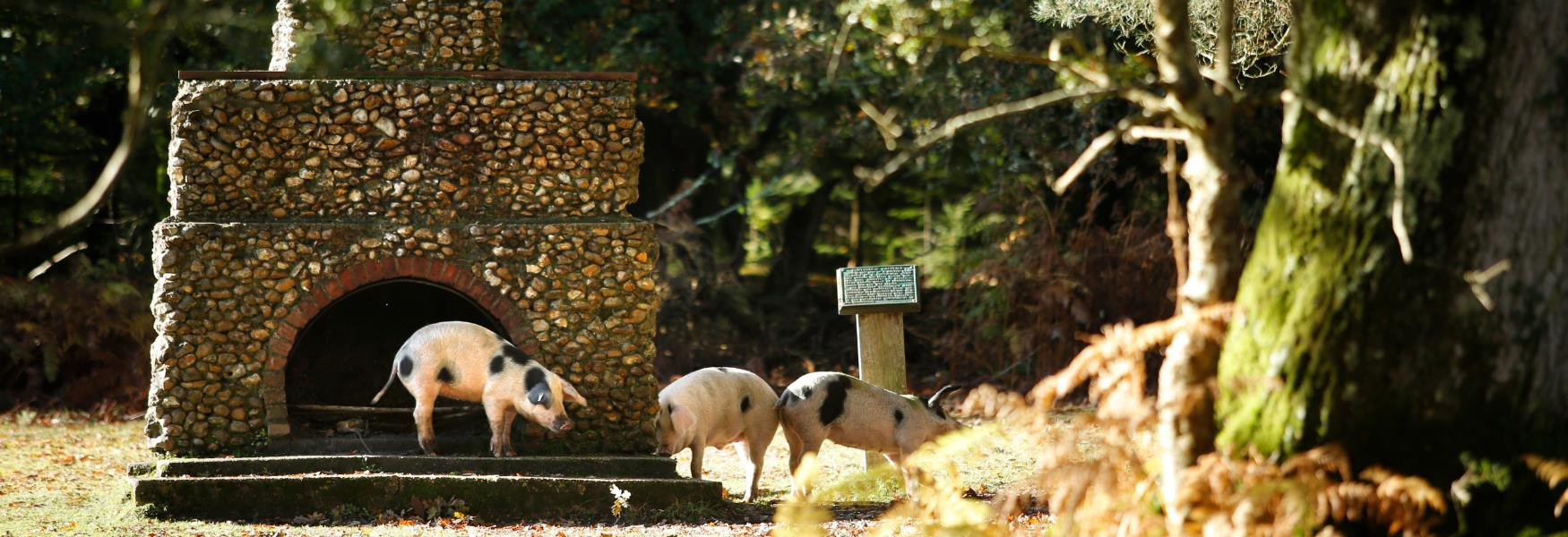 pigs at the portugese fireplace in the new forest