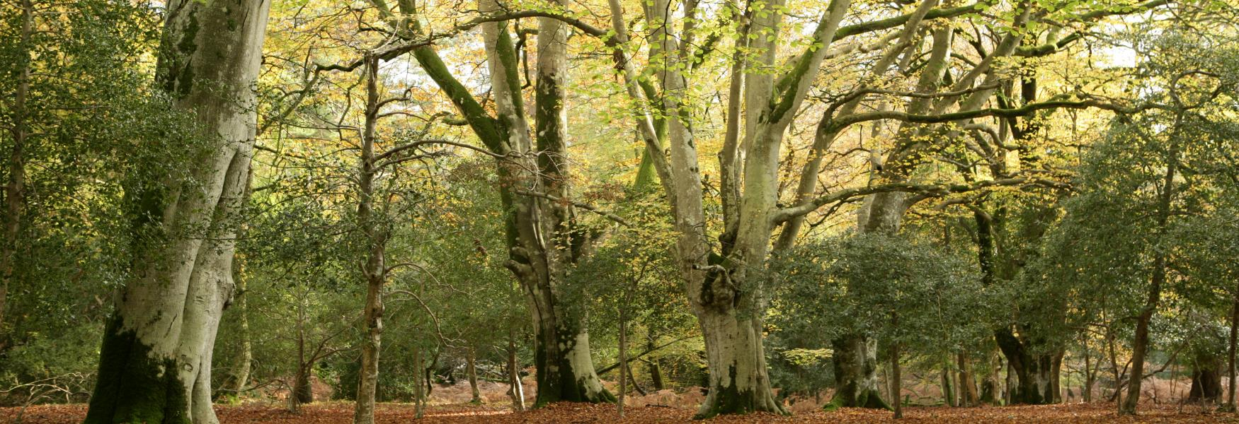 trees in the new forest