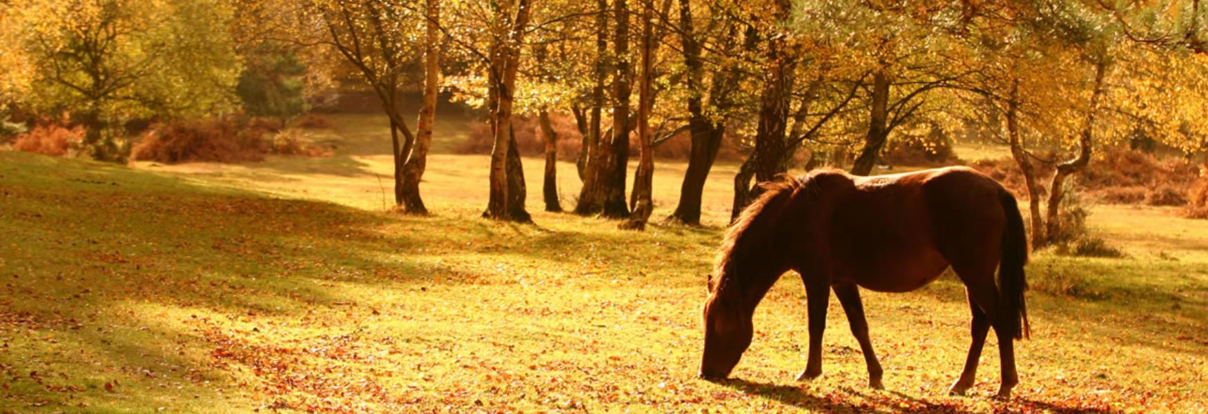 new forest pony grazing in the autumn in the new forest