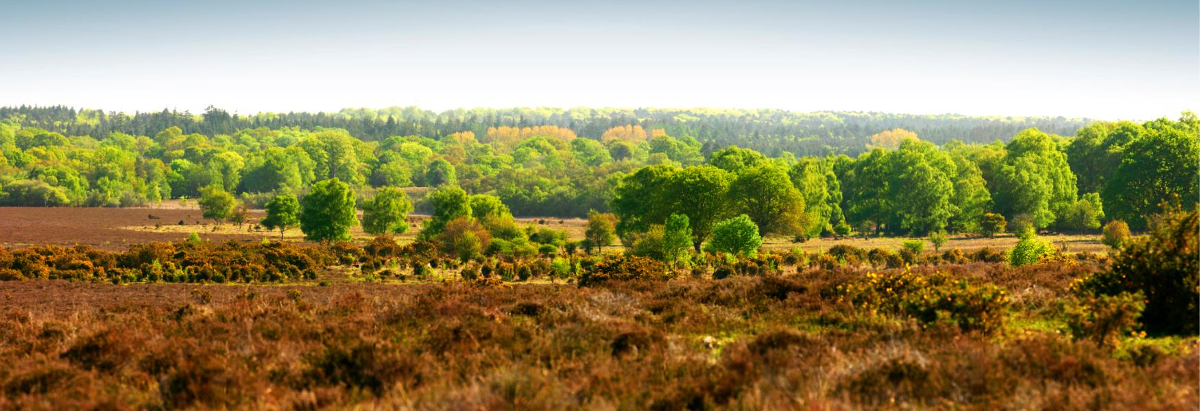 Beautiful Summer Landscape in the New Forest