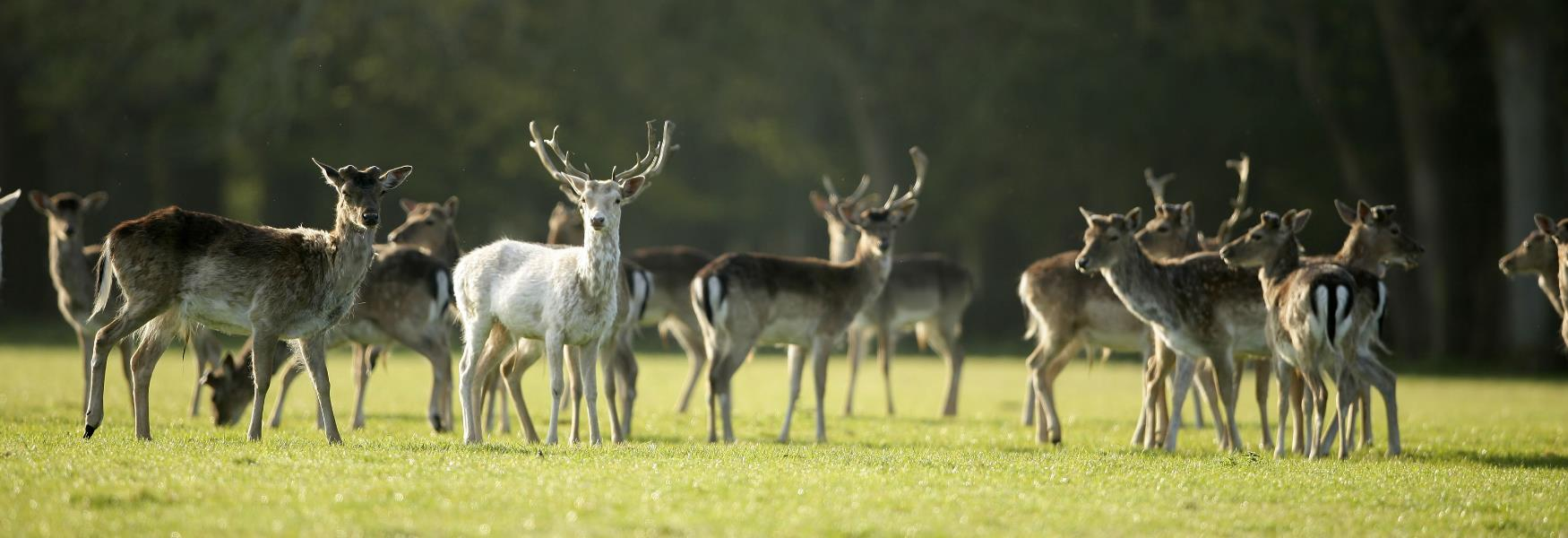 Deer on the grass in the New Forest