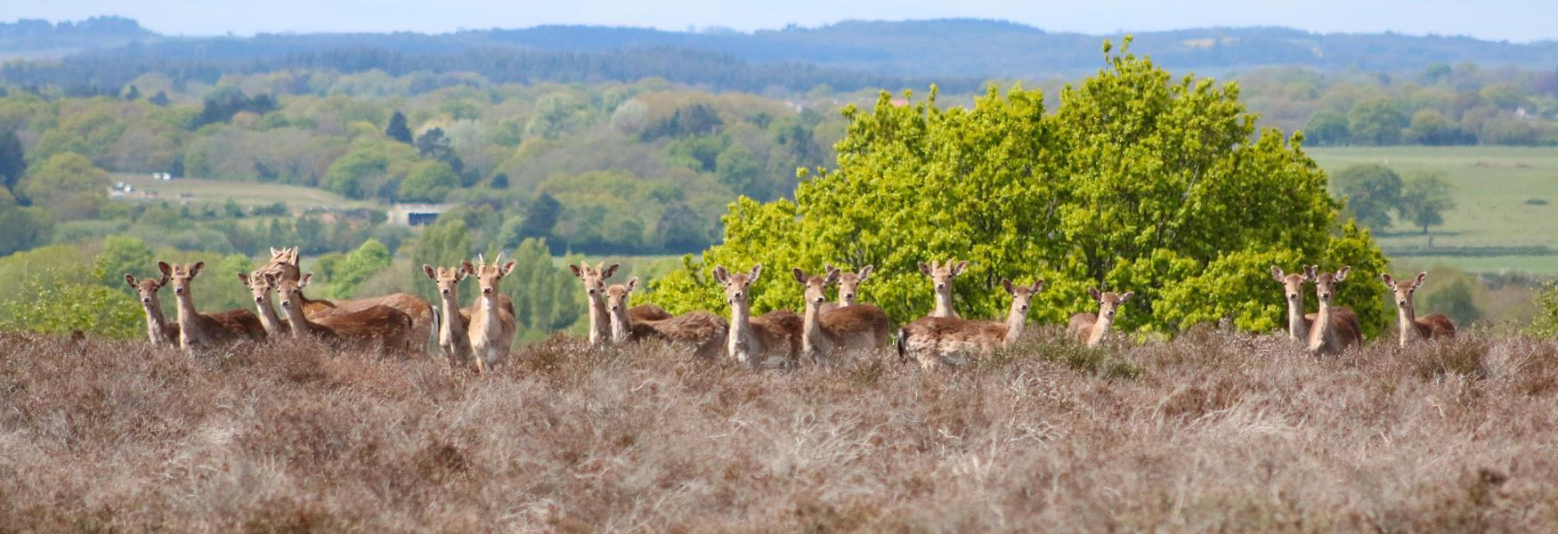 deer in the spring in the new forest