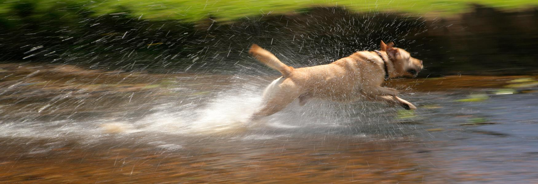 dog running through stream on walk in the new forest