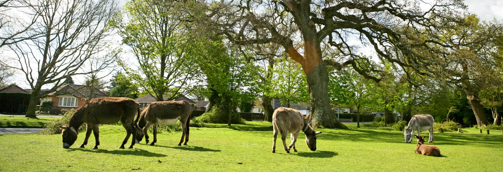 donkeys grazing in Brockenhurst in the new forest