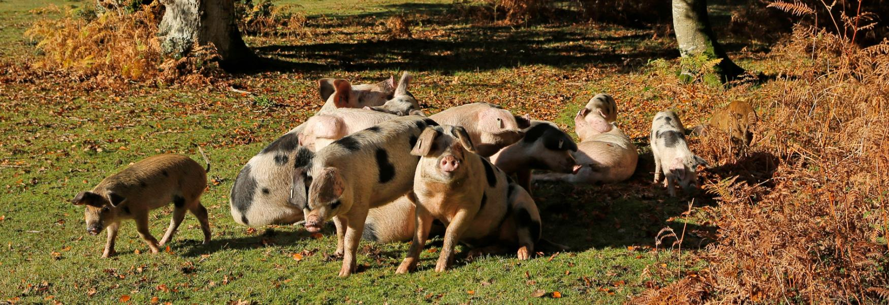 lots of pigs eating acorns during pannage in the new forest