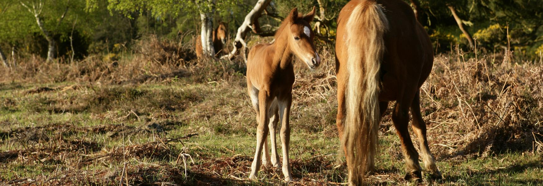 new born foal in the spring in the new forest