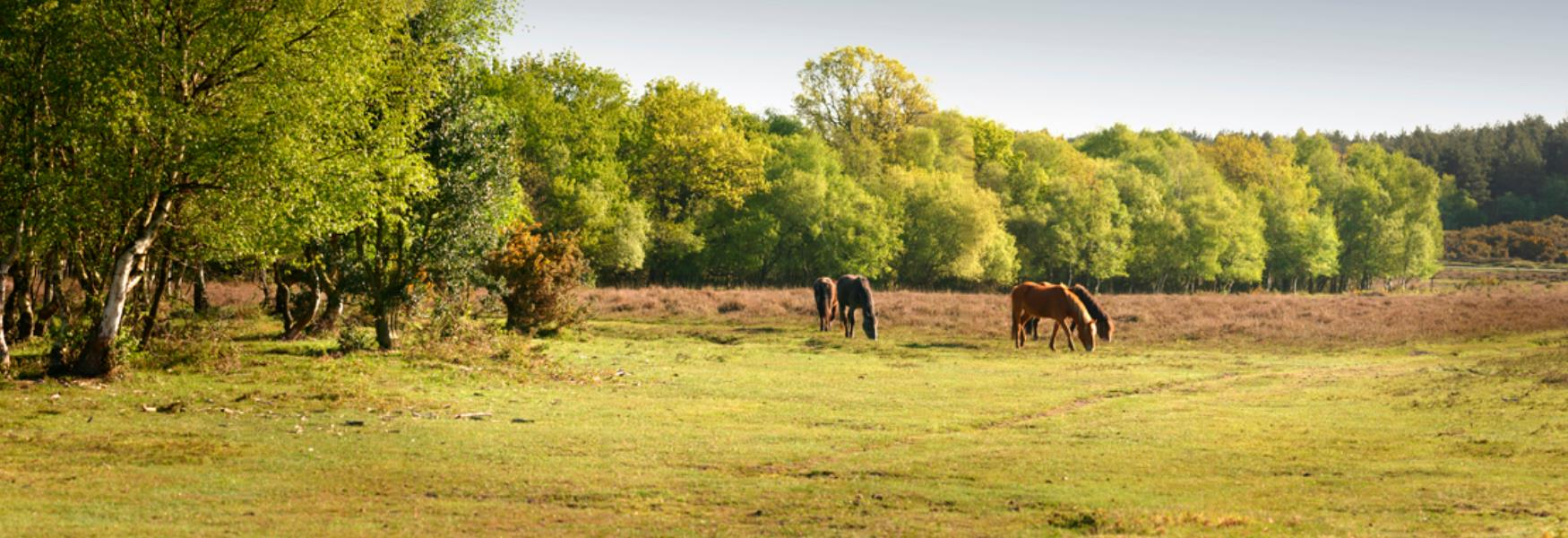 new forest ponies grazing in spring landscape in the new forest