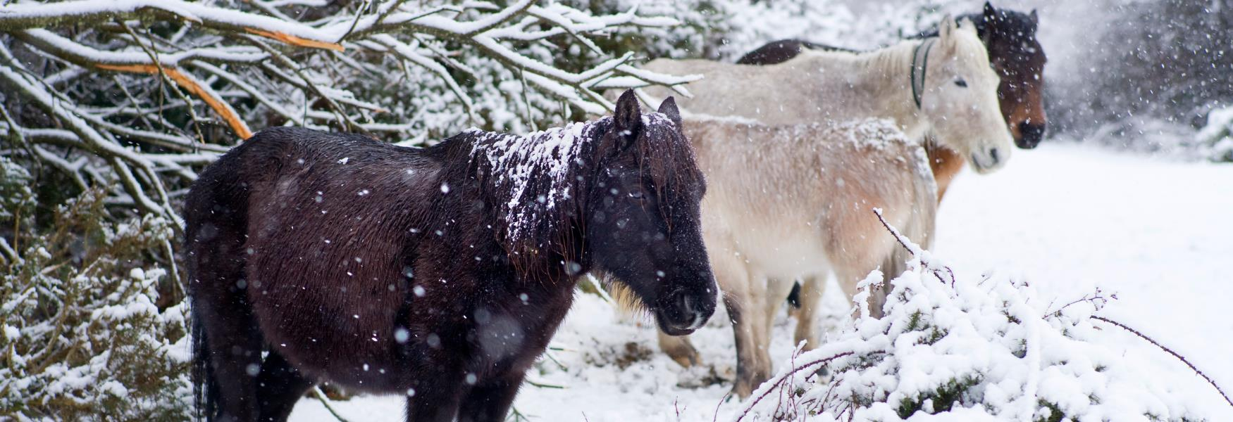 new forest ponies in the snow in the new forest