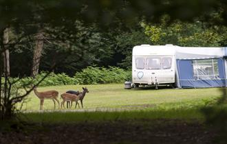 deer and caravan at longbeech caravan & camping site in the new forest