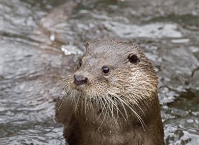 Otter at New Forest Wildlife Park in the New Forest