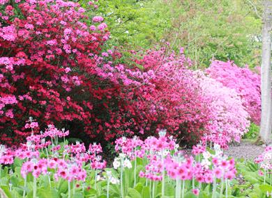 Azaleas and primulas at Furzey Gardens