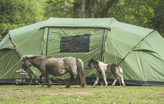 donkeys and tent at Hollands wood caravan & camping site in the new forest